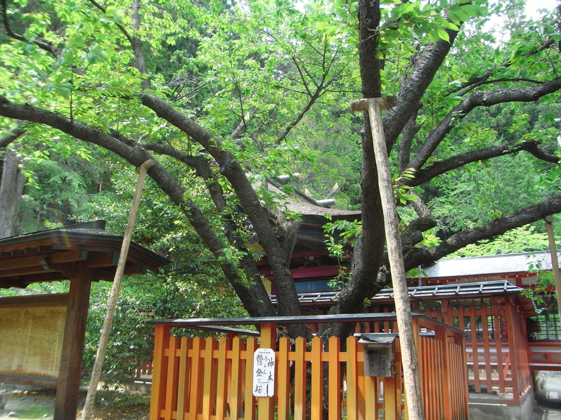 神社うこんの桜(金櫻.jpg